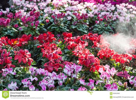 winter garden flowers winter flowers cyclamen flowers in a garden stock photo