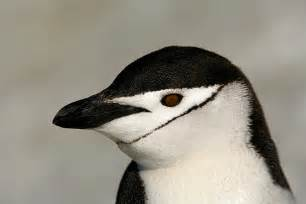 Penguin Chinstrap