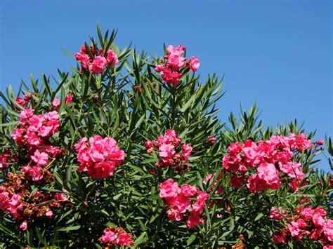 oleander schneiden wann oleander schneiden wie soll ich im fr hling meinen
