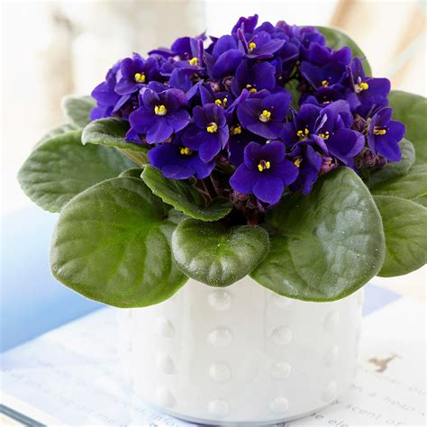 buy african violet saintpaulia top dark blue