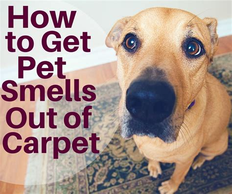 how to get pee smell out of bed 91 best pets images on pinterest