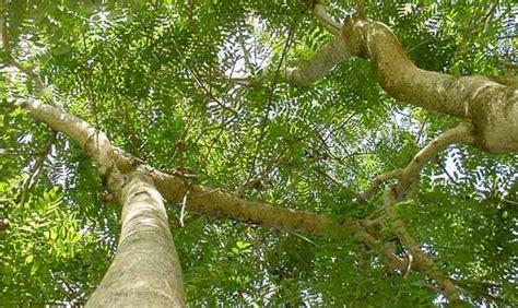 mengenal pohon johar  manfaatnya bagi kesehatan