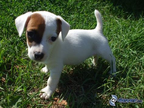 jack russell terrier imagenes jack russell terrier