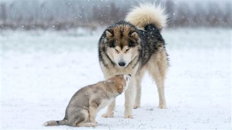 Puppy Alaskan Malamute alaskan malamute teaches puppy how to behave