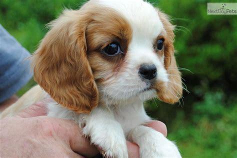 st charles puppy cavalier king charles spaniel puppy for sale near st louis missouri e4fb0098 0941