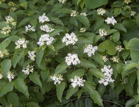 flowering dogwood shrub dogwood shrubs list of species in the cornus genus