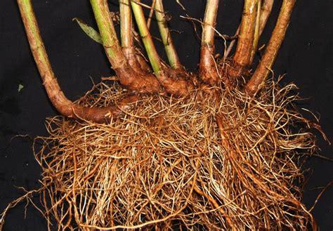 file helianthus maximilianii rhizomes jpg wikipedia