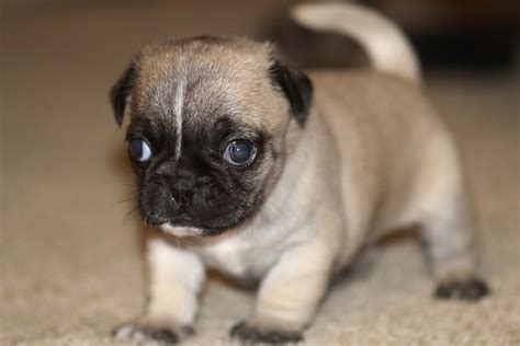 pug cannon pug puppy free stock photo domain pictures