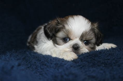 caring for shih tzu puppies shih tzu standard imperial tlc puppy