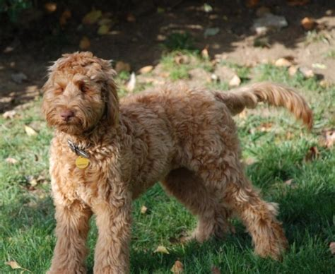 goldendoodle puppies jackson ms photos of past litters of australian labradoodles for
