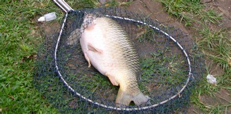 bahan untuk membuat umpan ikan mas umpan ikan mas cuaca hujan terbaru jaya essen solution