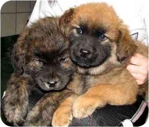 chow shepherd mix puppy puppies adopted puppy peachtree city ga chow chow shepherd unknown type mix