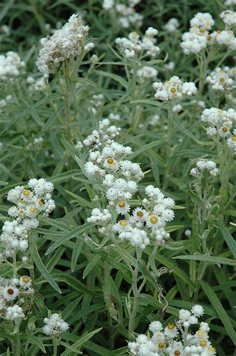 pearly everlasting anaphalis margaritacea  winnipeg