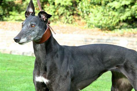 greyhound for sale razldazl chionship pedigree greyhound puppies for sale