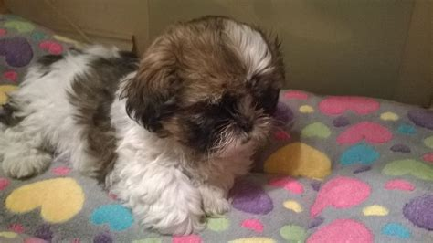 shih tzu puppies for sale uk shih tzu puppies for sale larkhall lanarkshire pets4homes