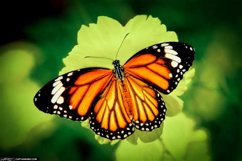of a butterfly the birth of a butterfly the happy quitter