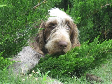 spinone italiano puppies pin spinone italiano a large breed on