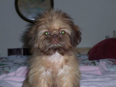 liver nose shih tzu kiwi a quot liver quot shih tzu she is totally brown colors nose paws and