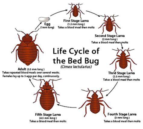 how often do bed bugs reproduce bed bug life cycle explained empire pest control london