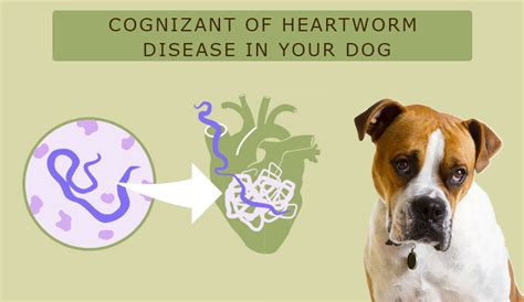 heartworm disease in dogs cognizant of heartworm disease in your budgetpetworld