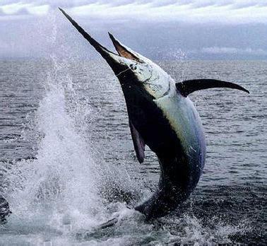 come cucinare il pesce siluro pesce spada informazioni alimentazione freschezza e tipi