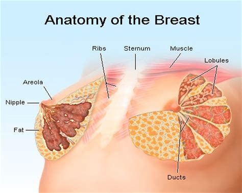 diagram of breast tissue the increase in the breast the is 100