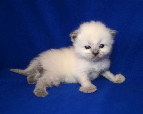a ragdoll kitten jeter ragdoll kitten of the month