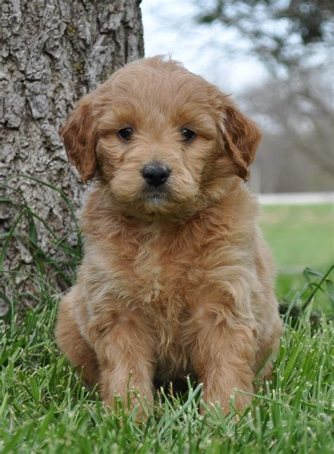 mini goldendoodle shaney the mini goldendoodle wish list