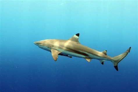 dive nere squalo pinne nere carcharhinus melanopterus