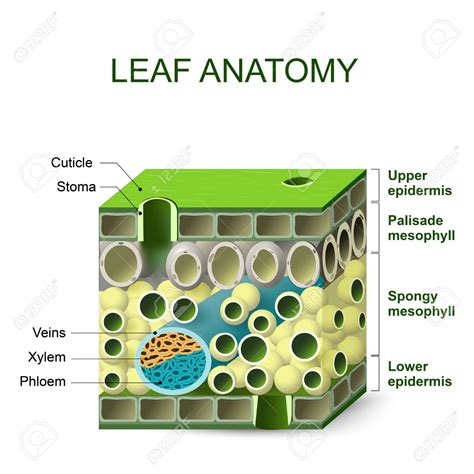 leaf anatomy diagram leaf structures clipart clipground