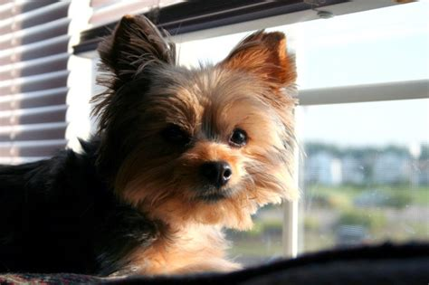 Do Yorkie Chihuahua Mix Shed by Chorkie Chihuahua Yorkie Mixe Breed Profile What You