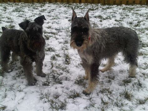 Schnauzer Shed by How Much Does Your Std Schnauzer Shed
