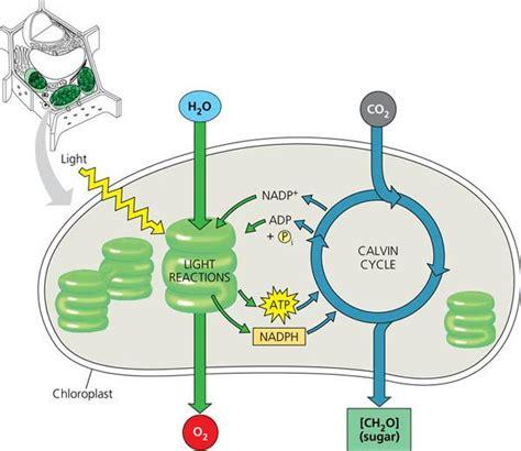 diagram of a chloroplast rozaini othman guru cemerlang biologi august 2013