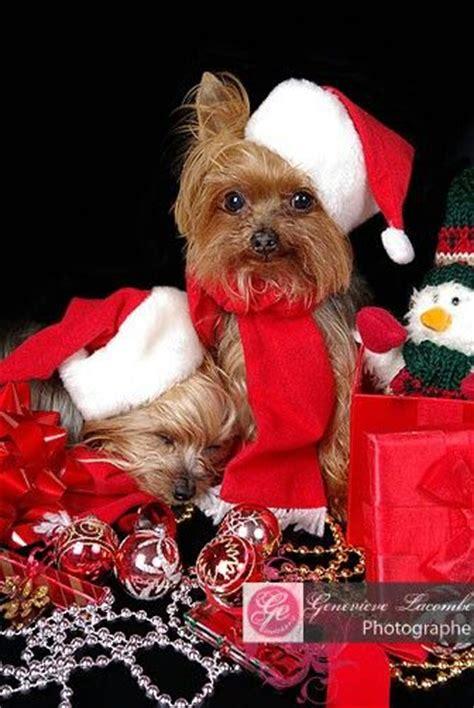 images of christmas yorkies 66 best yorkies christmas images on pinterest yorkies