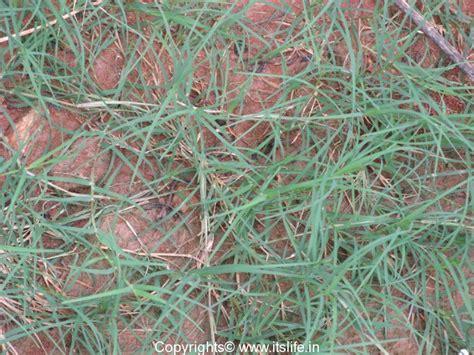 south african couch grass durva grass bermuda grass durva patra garke hullu