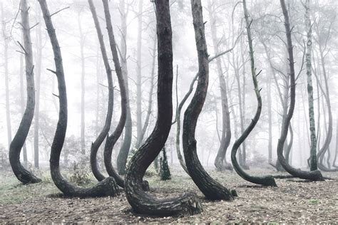crooked forest poland the crooked forest a mysterious grove of 400 oddly bent