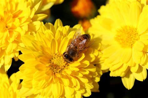 fiori e api l utilizzo di piante e fiori per tenere lontane api e vespe