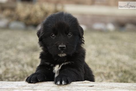 newfoundland puppies for sale near me newfoundland puppy for sale near fort wayne indiana af592033 8ca1