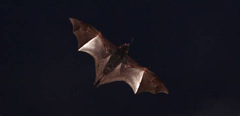 going bats a marge mystery books revealed bats use sunsets to reset their magnetic