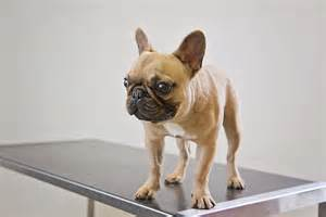 pug ears pugs and bulldogs is leaving species with crippling health problems