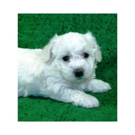 free puppies in md bichon frise puppies for sale adoption from maryland baltimore city adpost