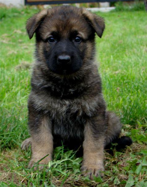 4 week puppy 4 week german shepherd puppies puppies puppy