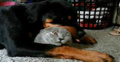 rottweiler the cat so much this rottweiler his friend the cat s reaction is priceless