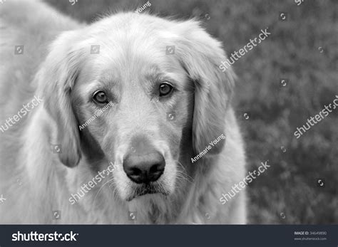 black and white golden retriever pictures black white photo golden retriever stock photo 34649890