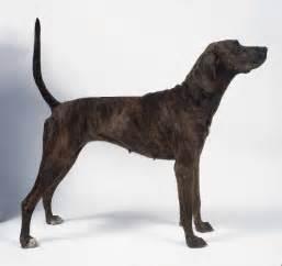 extreme dog breeds plott hound
