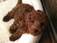 dogs for sale tucson 1000 ideas about mini poodles on poodles poodles and poodle puppies
