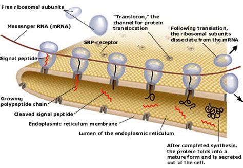 pengertian struktur ribosom  fungsi ribosom materi