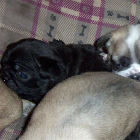 pug for sale in bangalore black pug puppies for sale in bangalore breeds picture