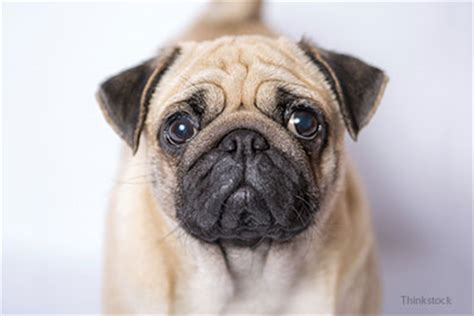 diabetes in pugs managing treatment of diabetes mellitus in your