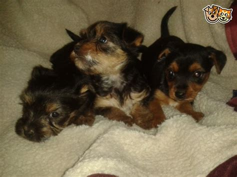 yorkie pudding mix year yorkie puppies i am lucky a social with 12 year 8 25 best